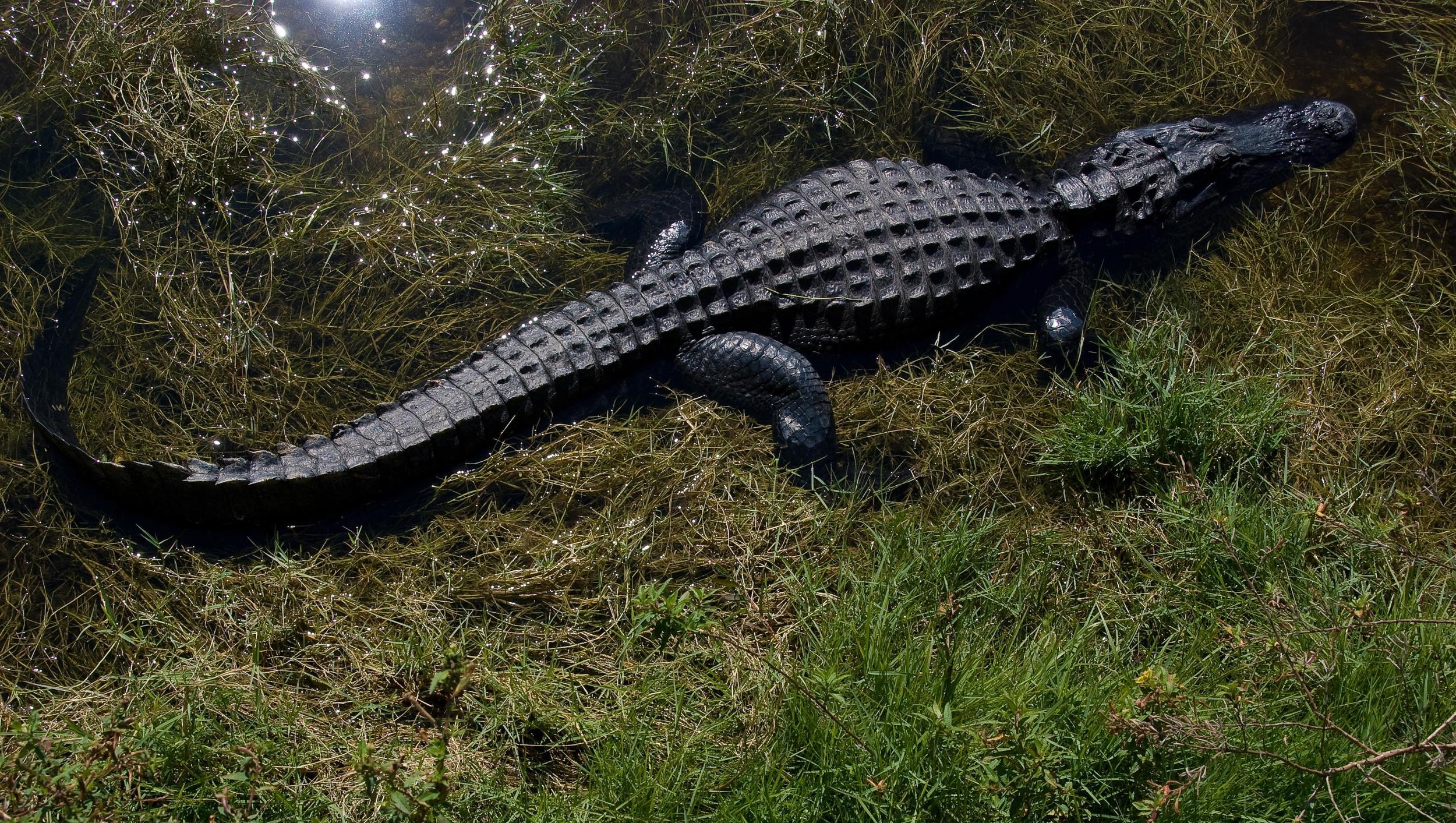 Big Cypress Gator