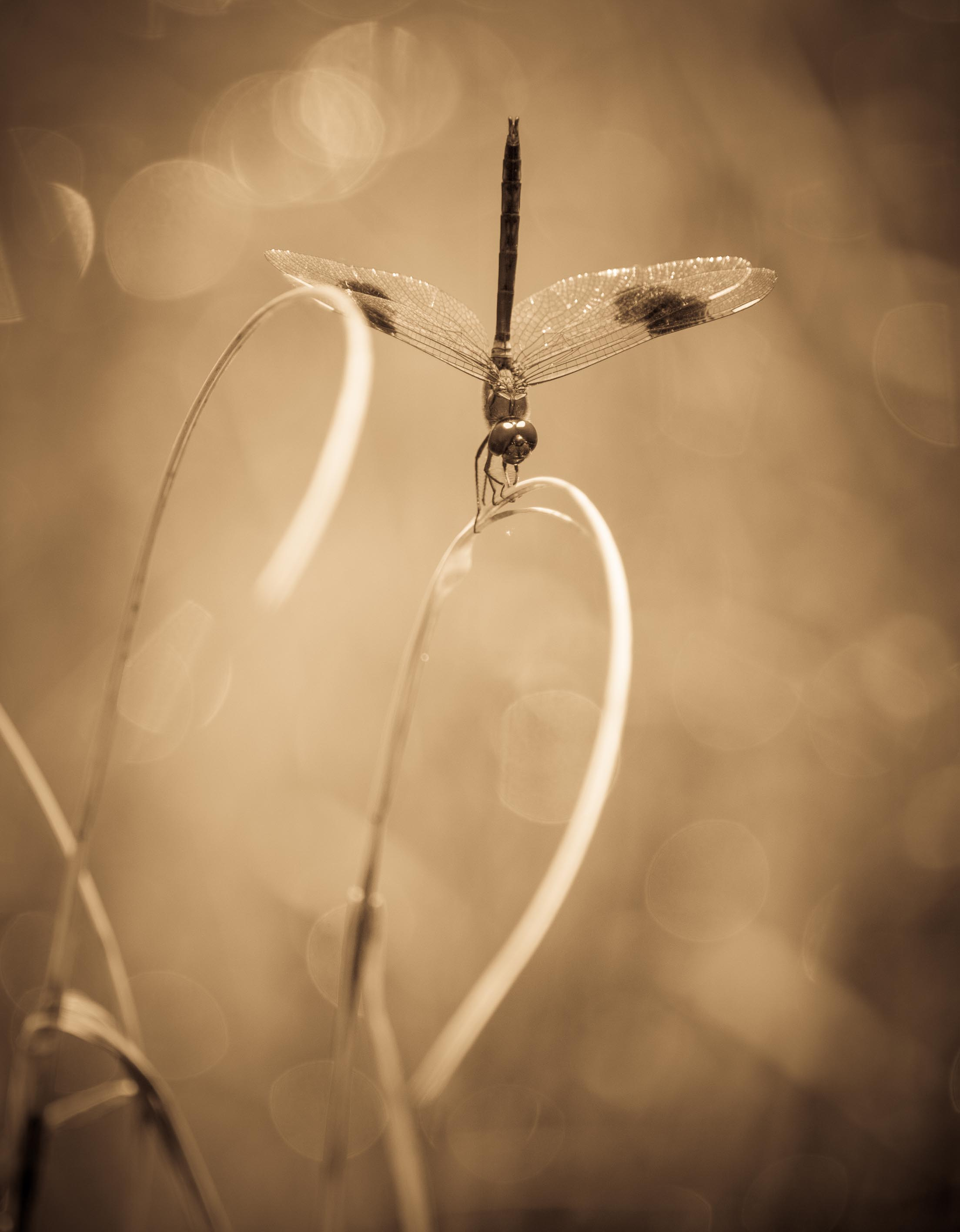 Sepia Dragonfly