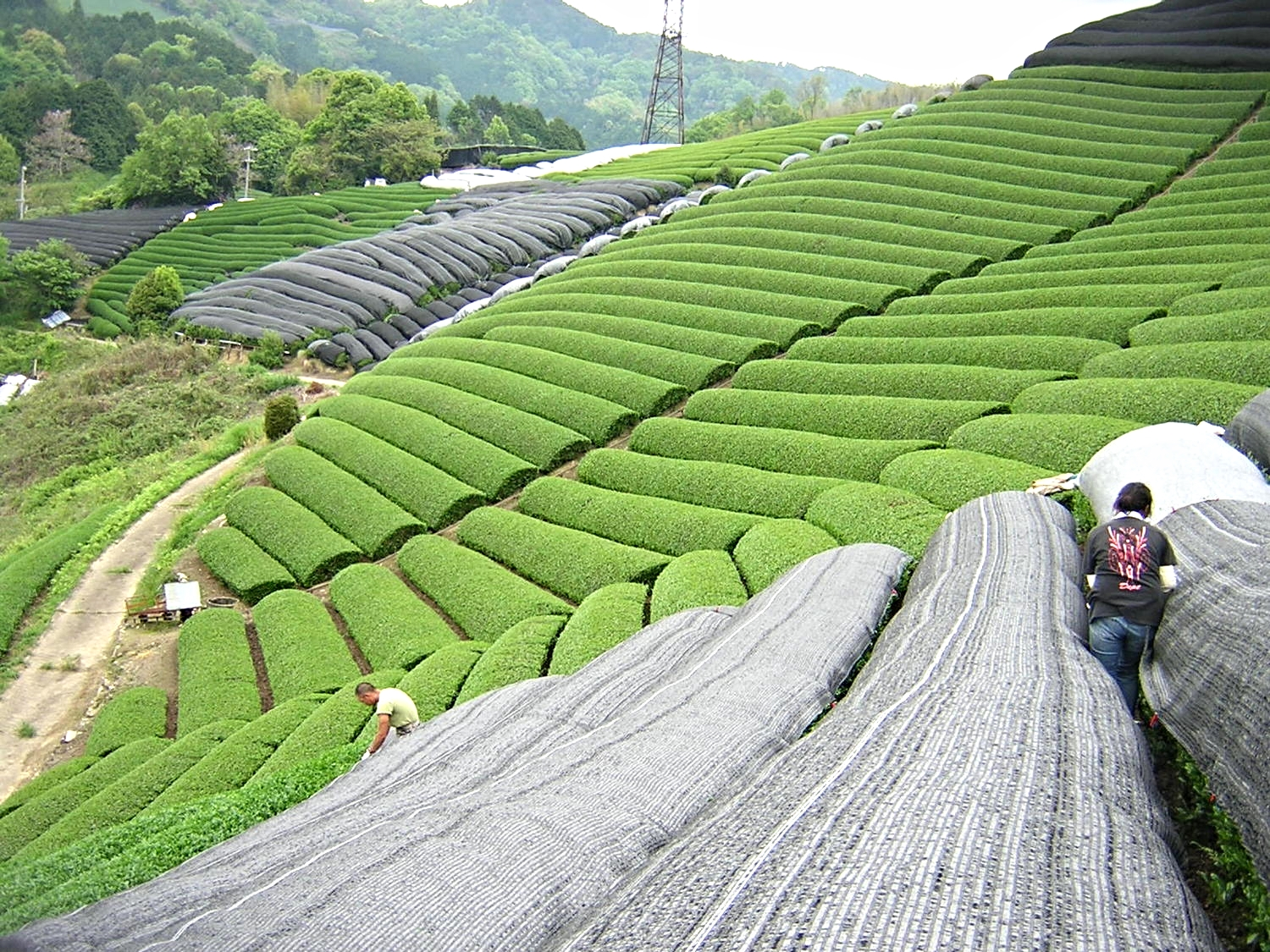 The Tea workers shading the tea plantations.