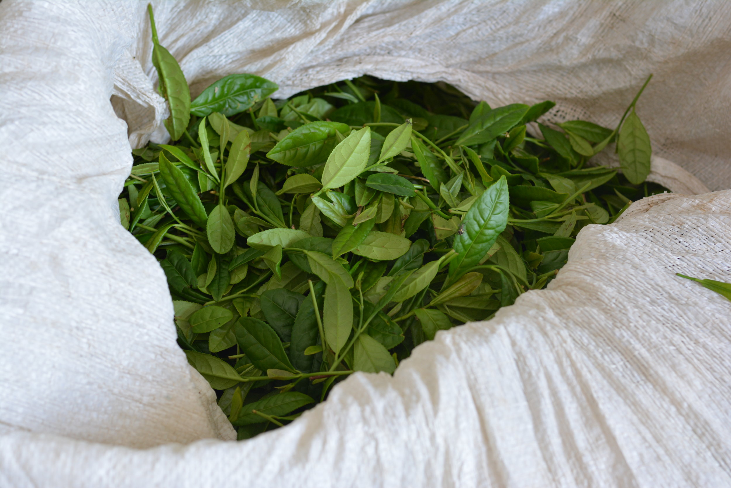 Five kilograms of green leaves will produce one kilogram of leaves for tea.