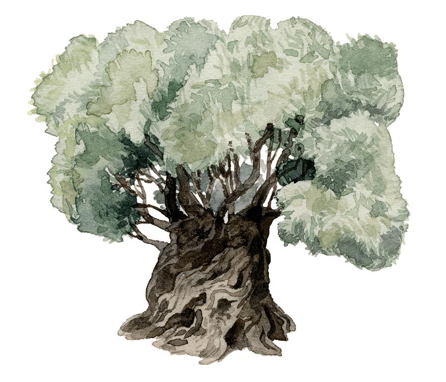 olive-tree2-sm.jpg