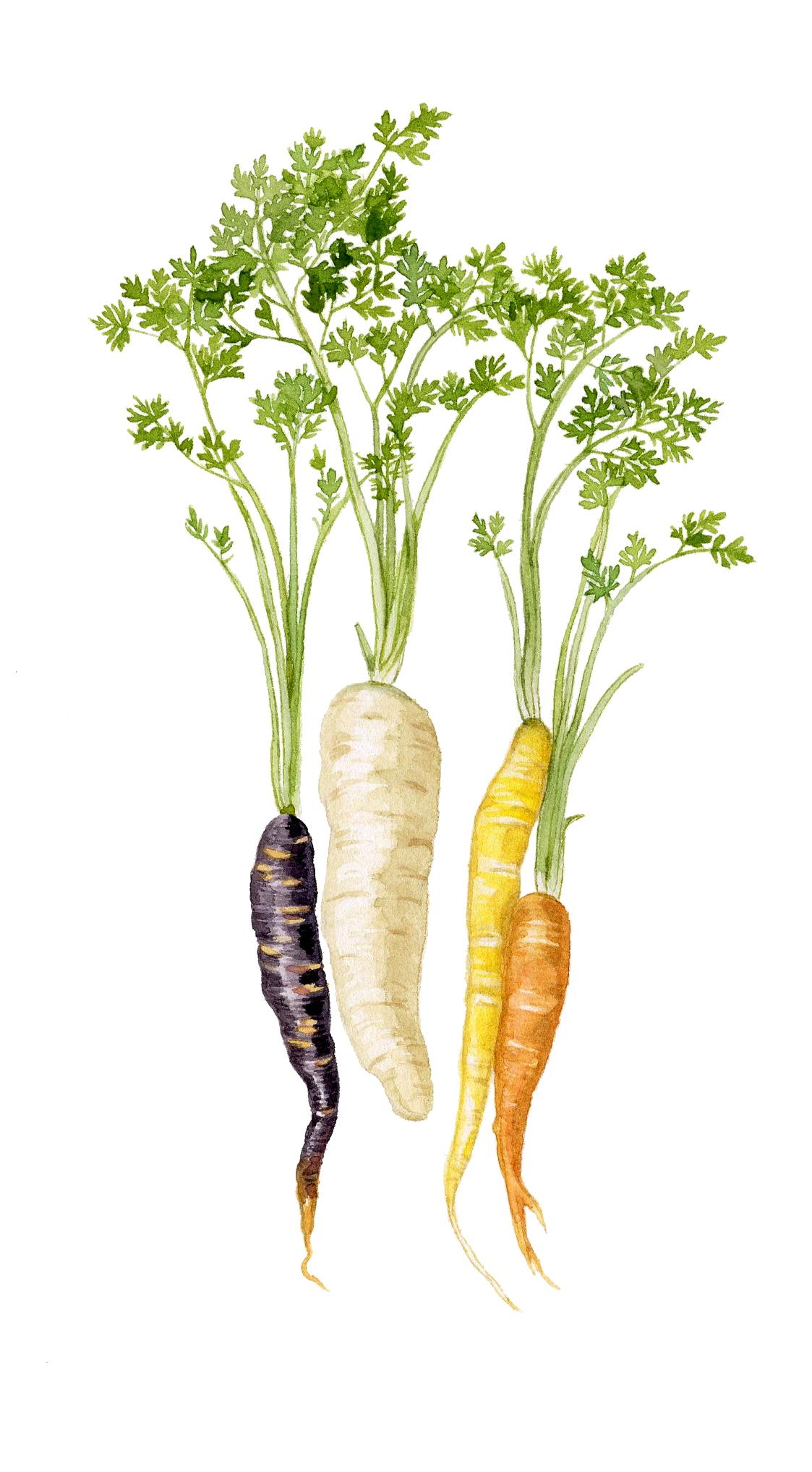 2-carrots.jpg