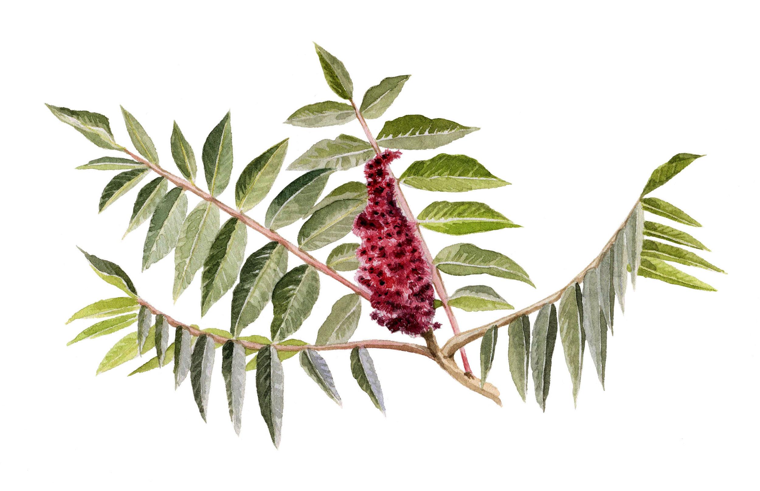 14-staghornsumac.jpg