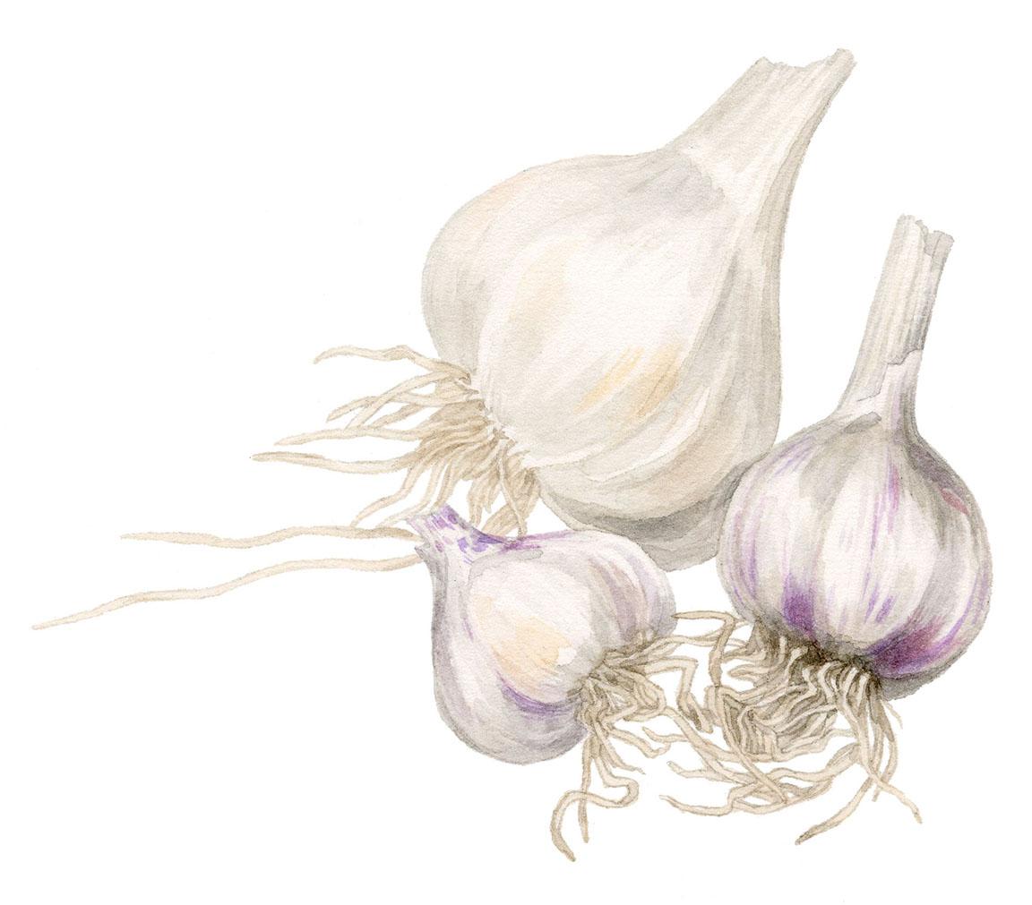 MM-garlic-sm.jpg