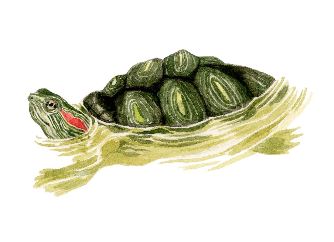 turtle-lrg.jpg
