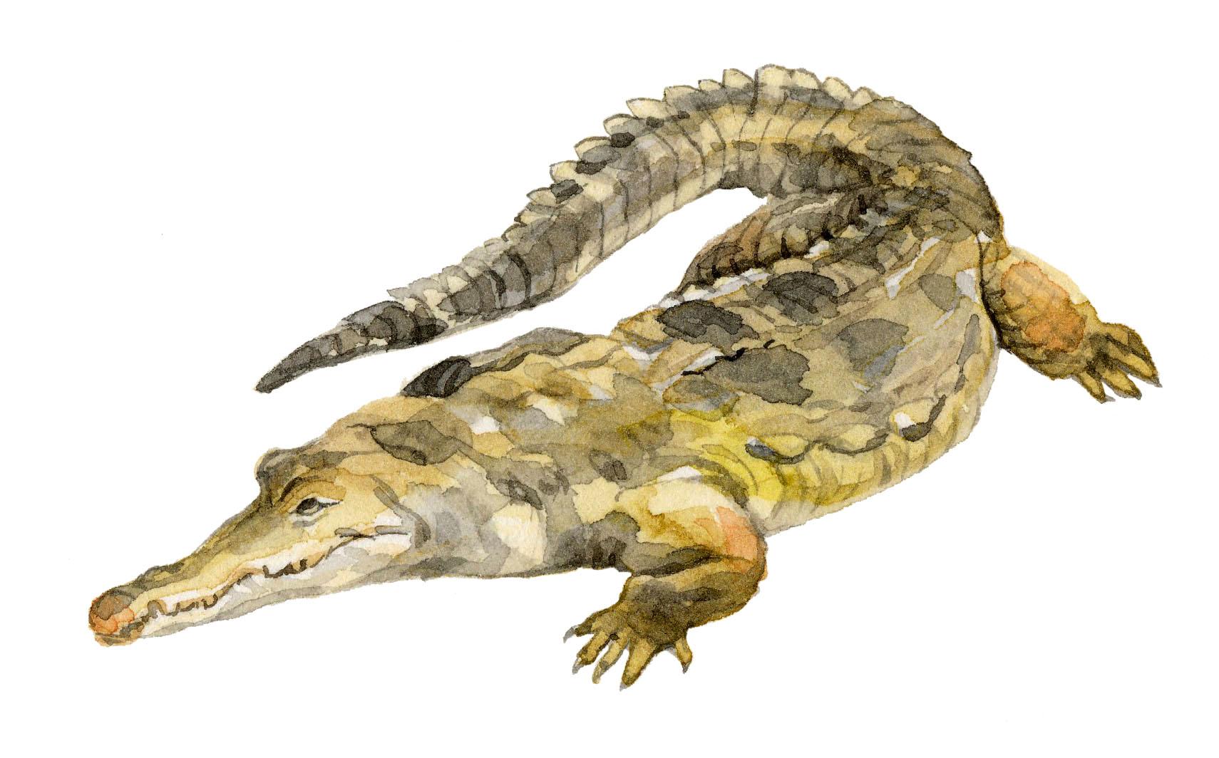orinoco-crocodile-lrg.jpg