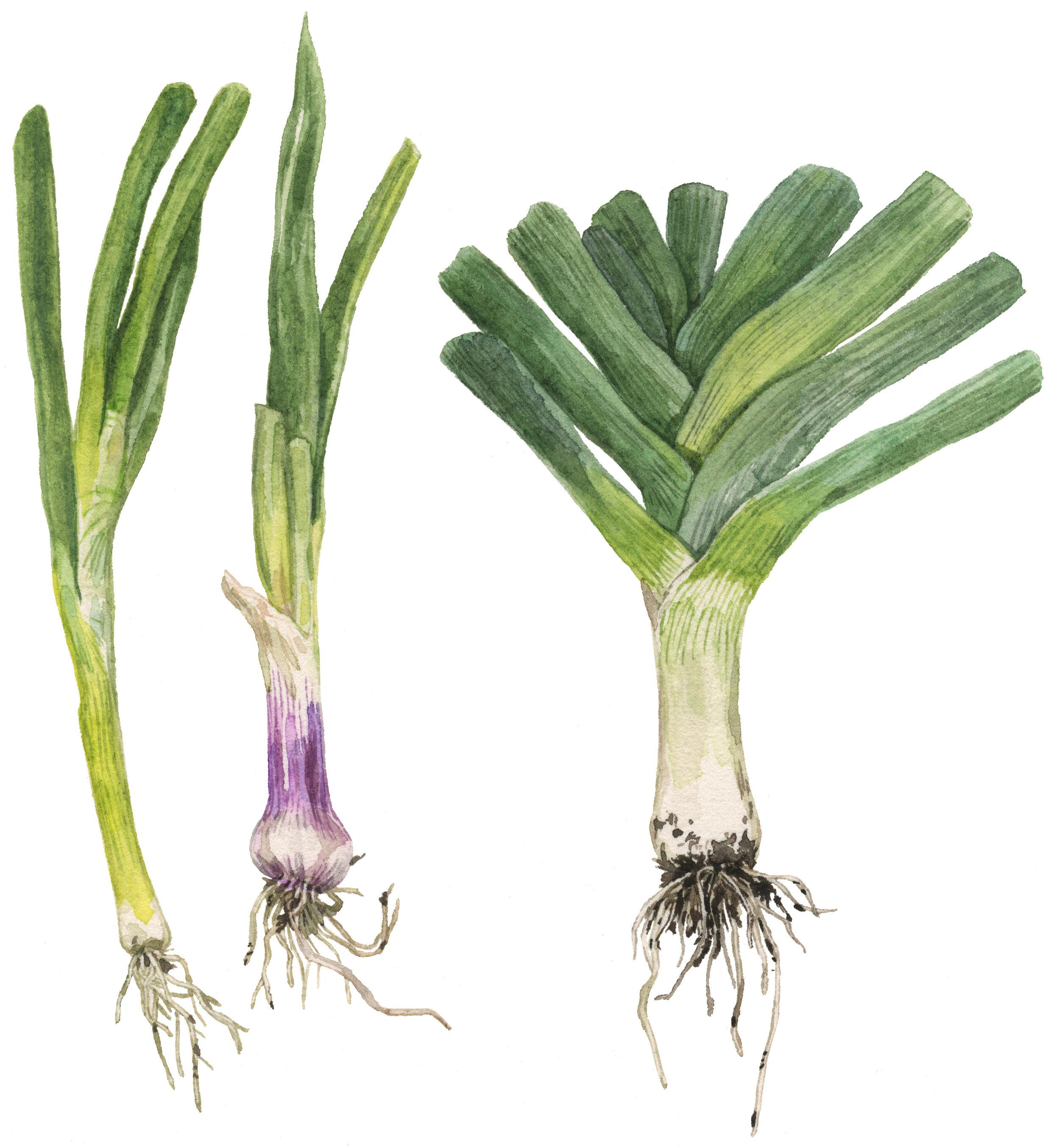 6-onions-lrg.jpg