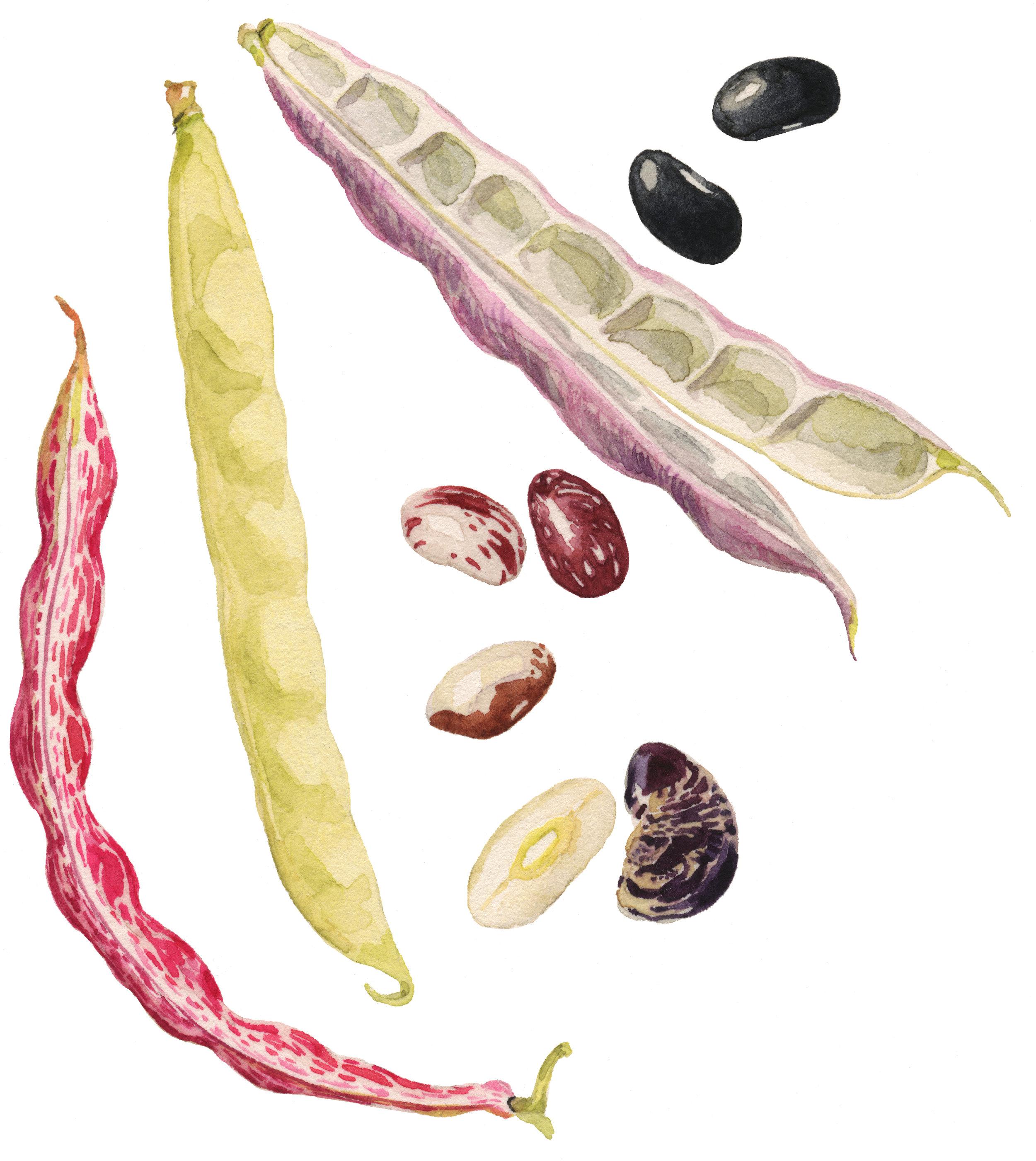 23-shell-beans-lrg.jpg