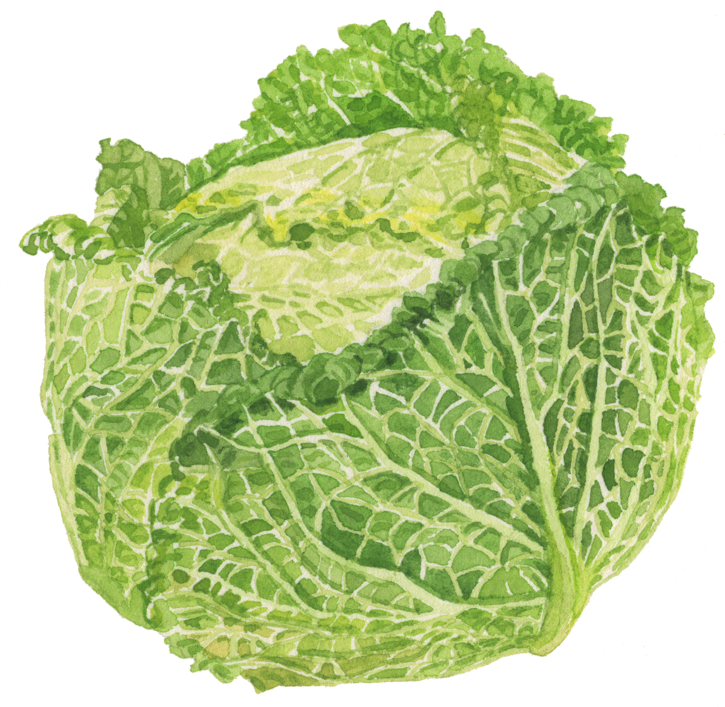 32-cabbage-lrg.jpg