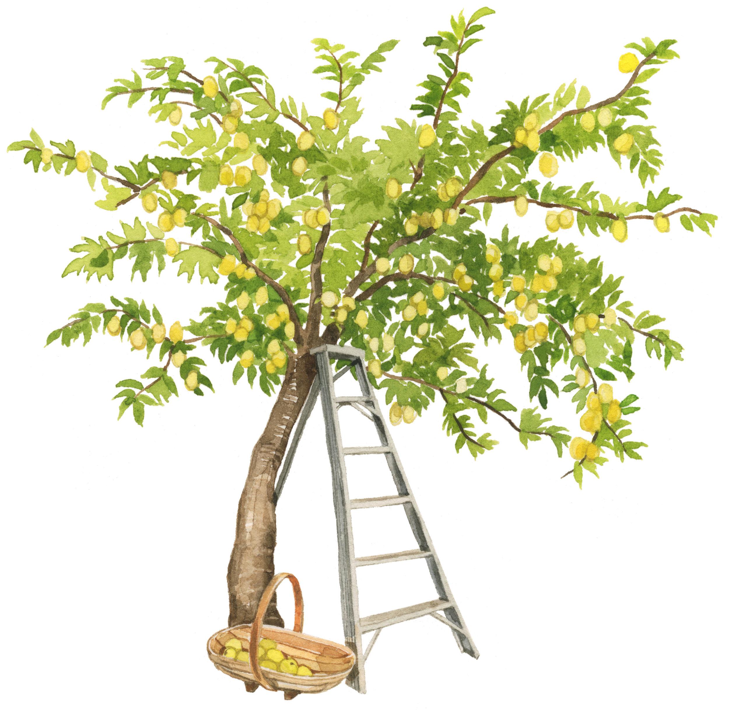 shiro-plum-tree-lrg.jpg