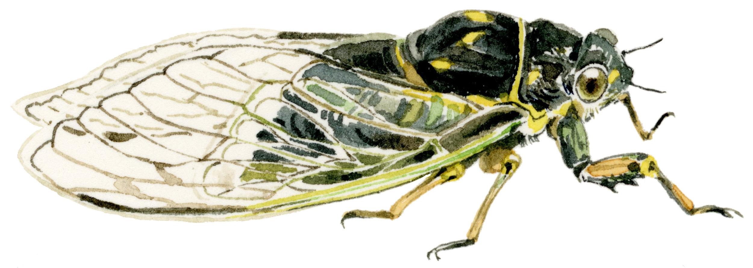 cicada-lrg.jpg