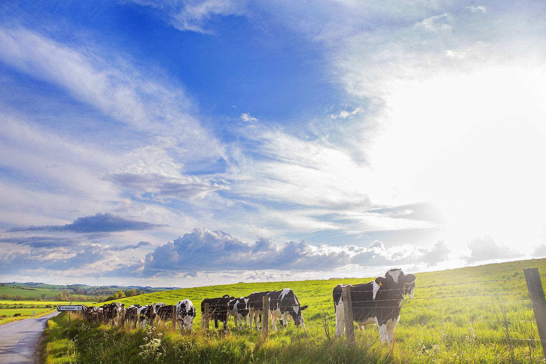 Cows+Craighton+sm.jpg
