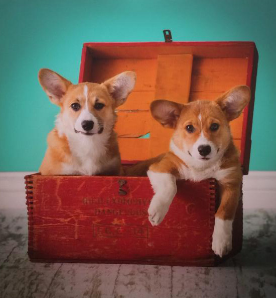 Corgi Puppy Portraits