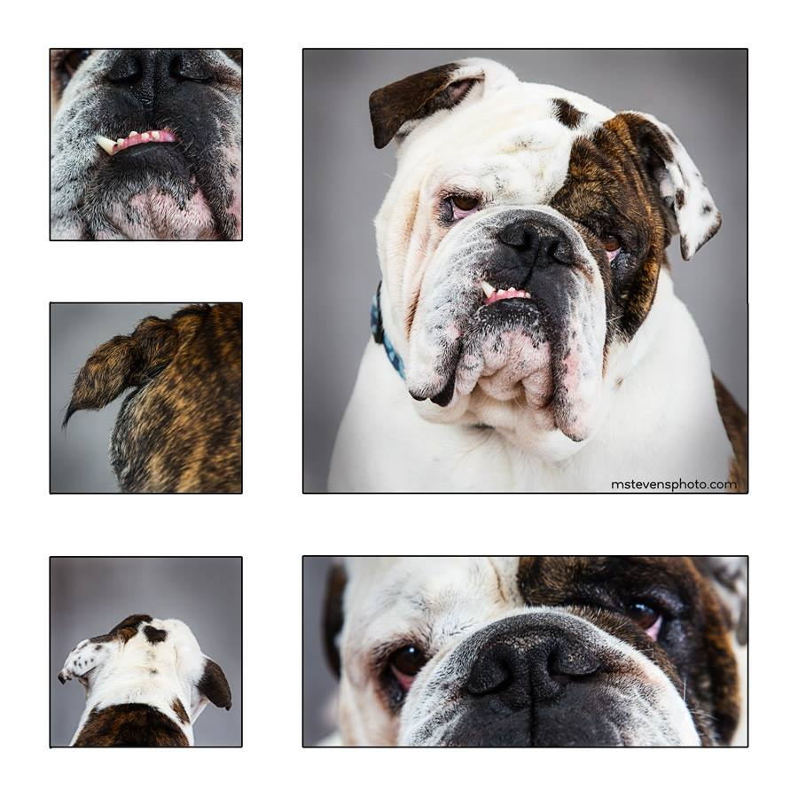 Max the English Bulldog beauty shots