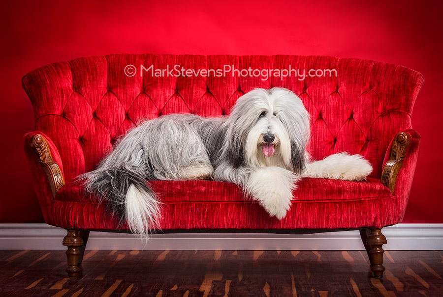 Toby the Bearded Collie