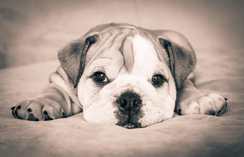 bulldog-puppy-photographer.jpg