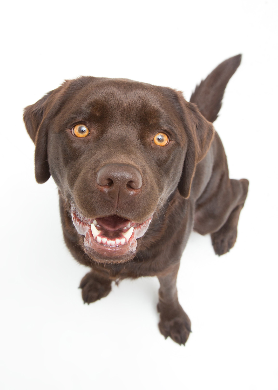 chocolate-lab-labrador-dog-portrait.jpg
