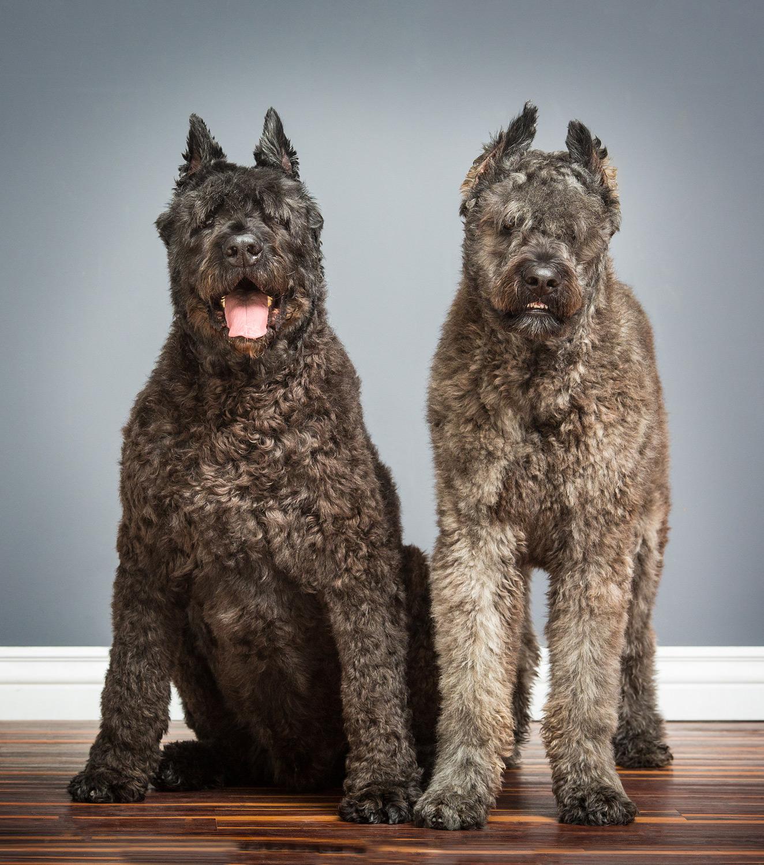 bouvier-dog-photography-purebred.jpg