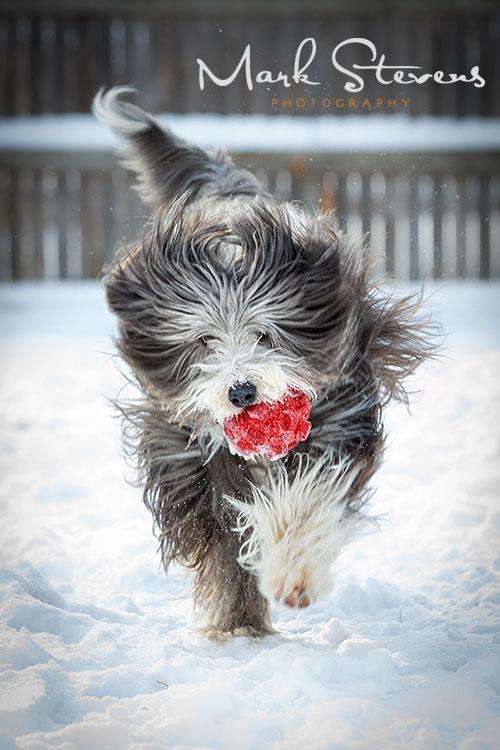 bearded-collie-dog-snow-denver-dog-photography