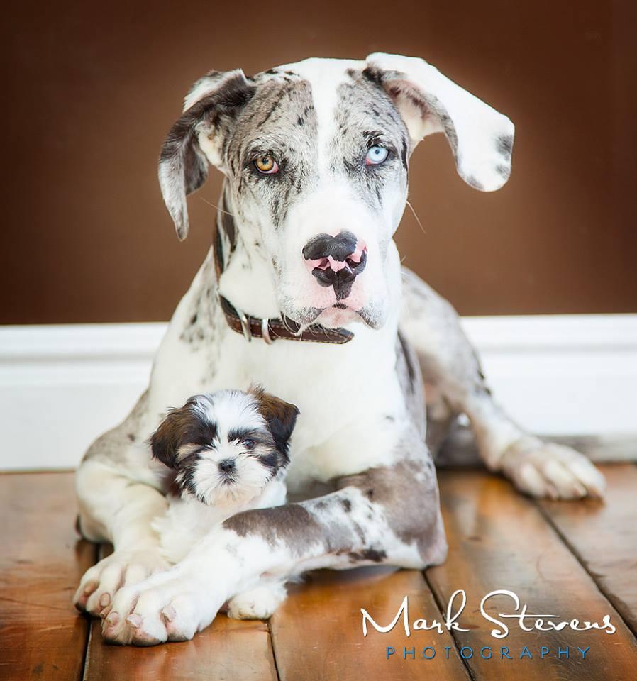 great-dane-puppy-photography-denver-colorado.jpg