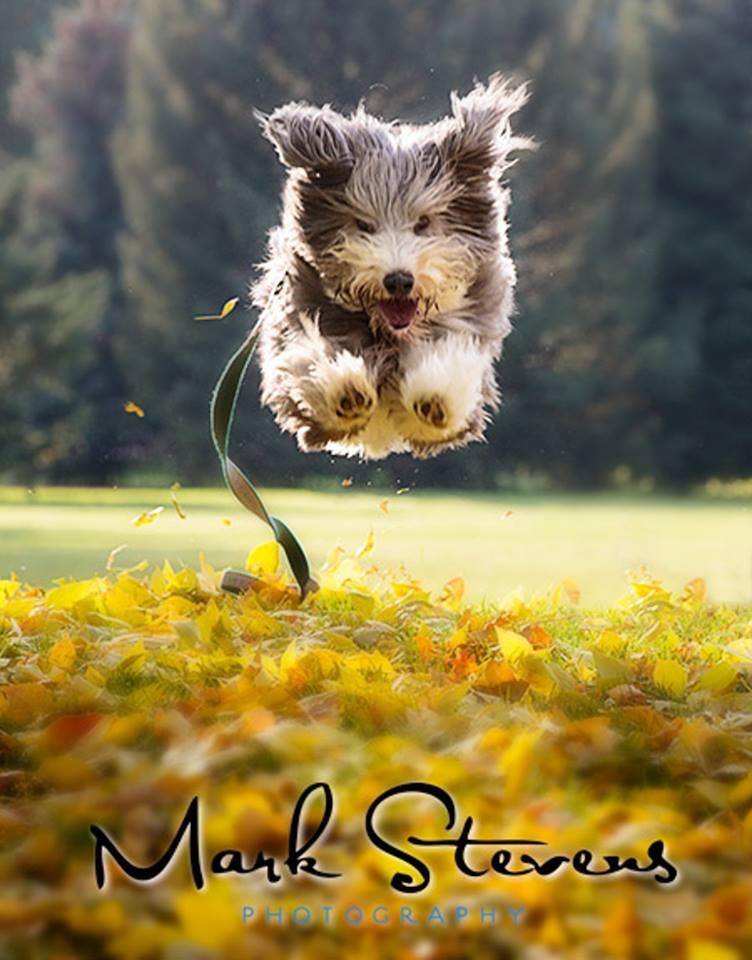 flying-bearded-collie-dog-fall-leaves-denver-photography.jpg