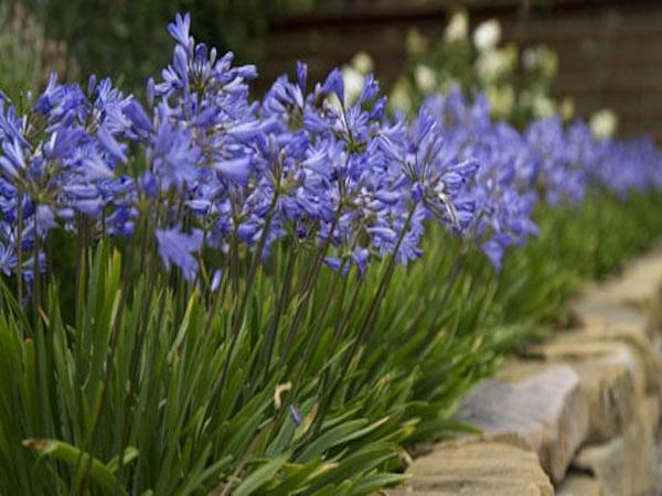This is a well kept agapanthus plant. Ours did not look this way.