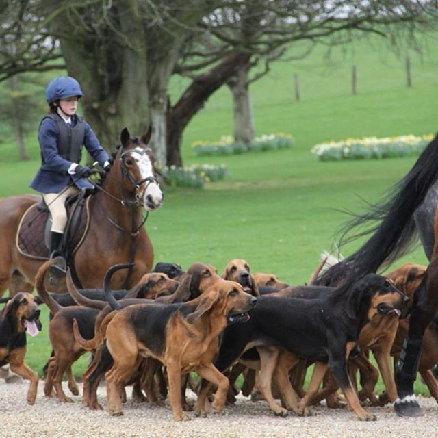 Sunday March 11th #mothersday #coakhambloodhounds will meet at #folkingtonmanor at midday. All welcome to come and see this spectacular event.