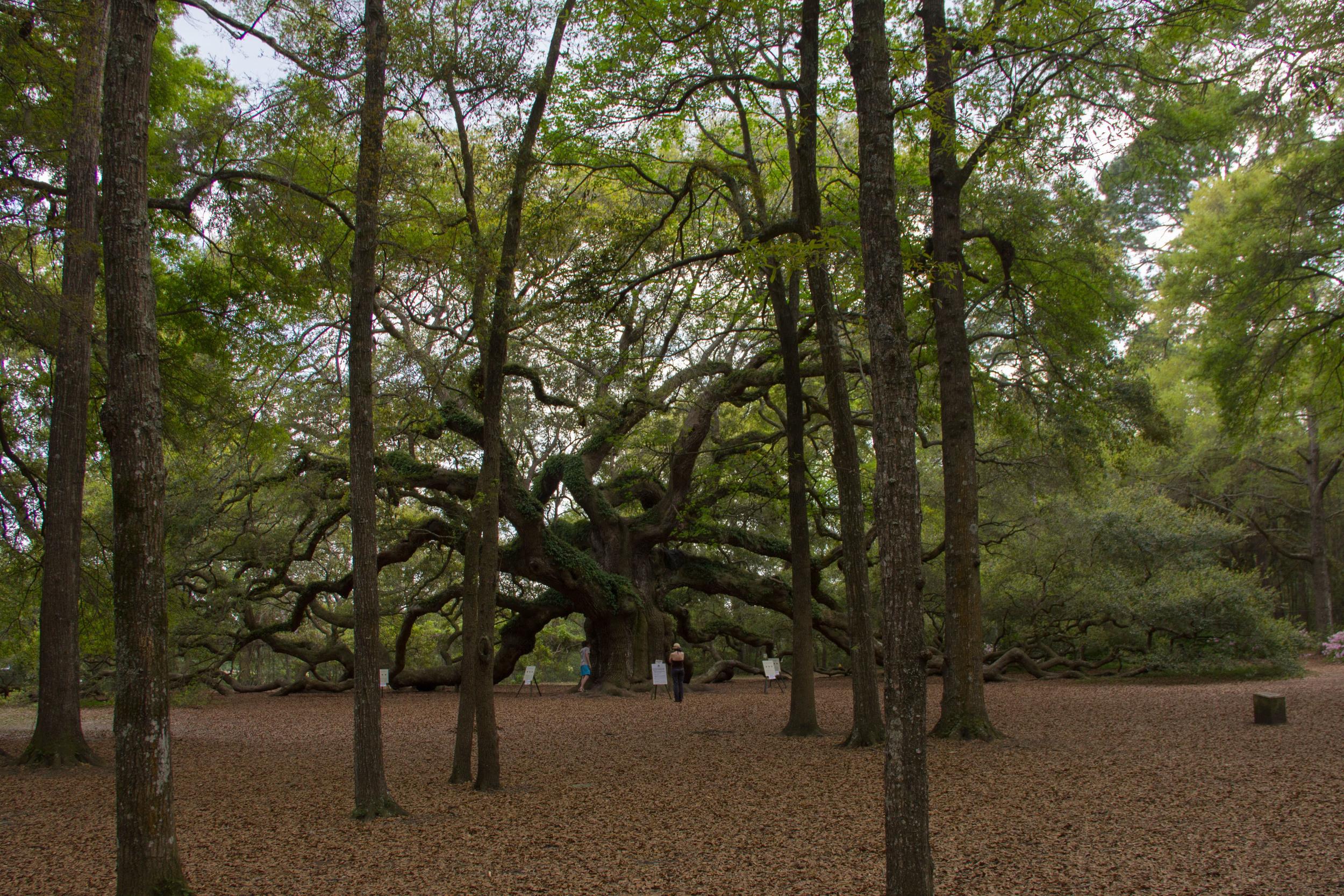 The Angel Oak