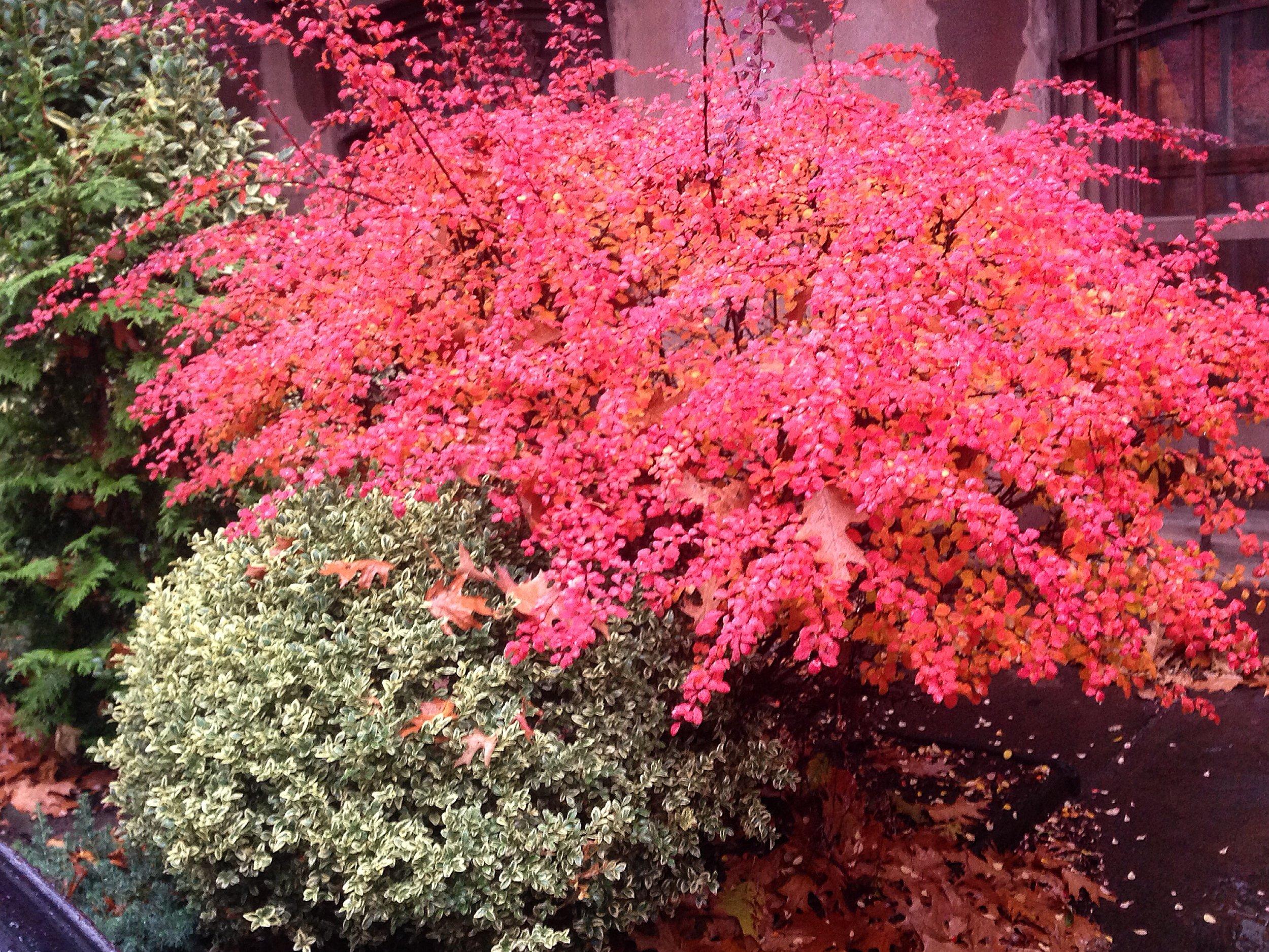 Spirea bush in Clinton Hill neighborhood.