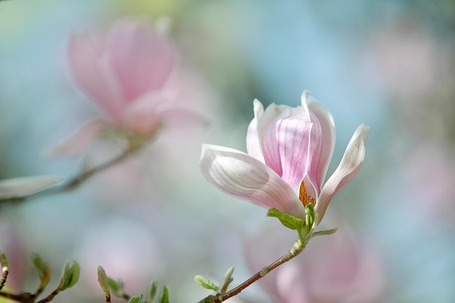 17-magnolia-flowers-nailia-schwarz.jpg