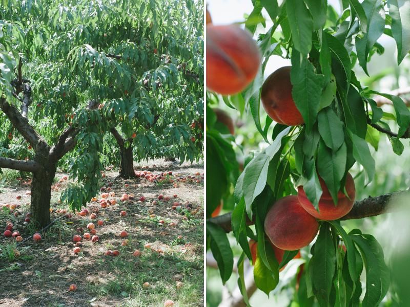 peachharvest1.jpg