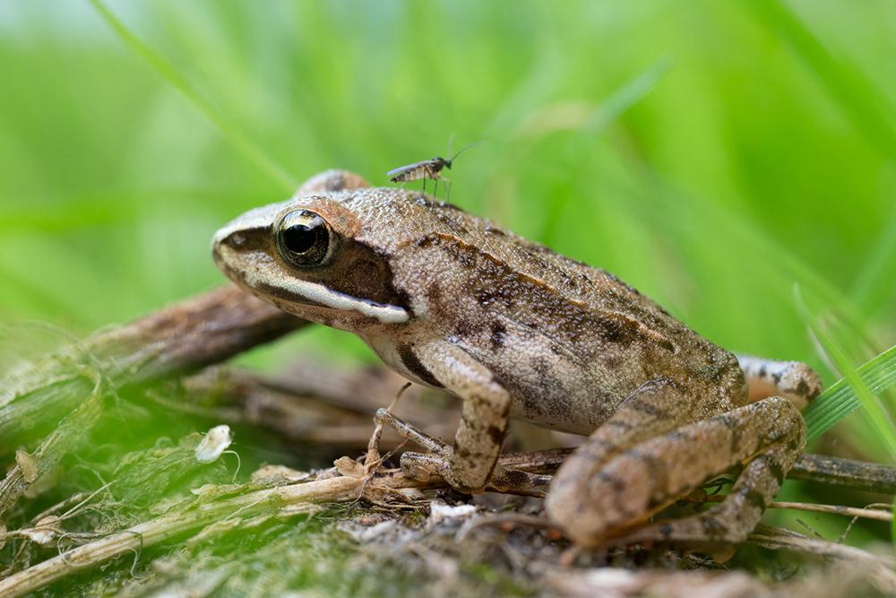 Jeune grenouille rousse