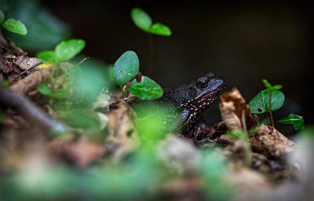 The black frog