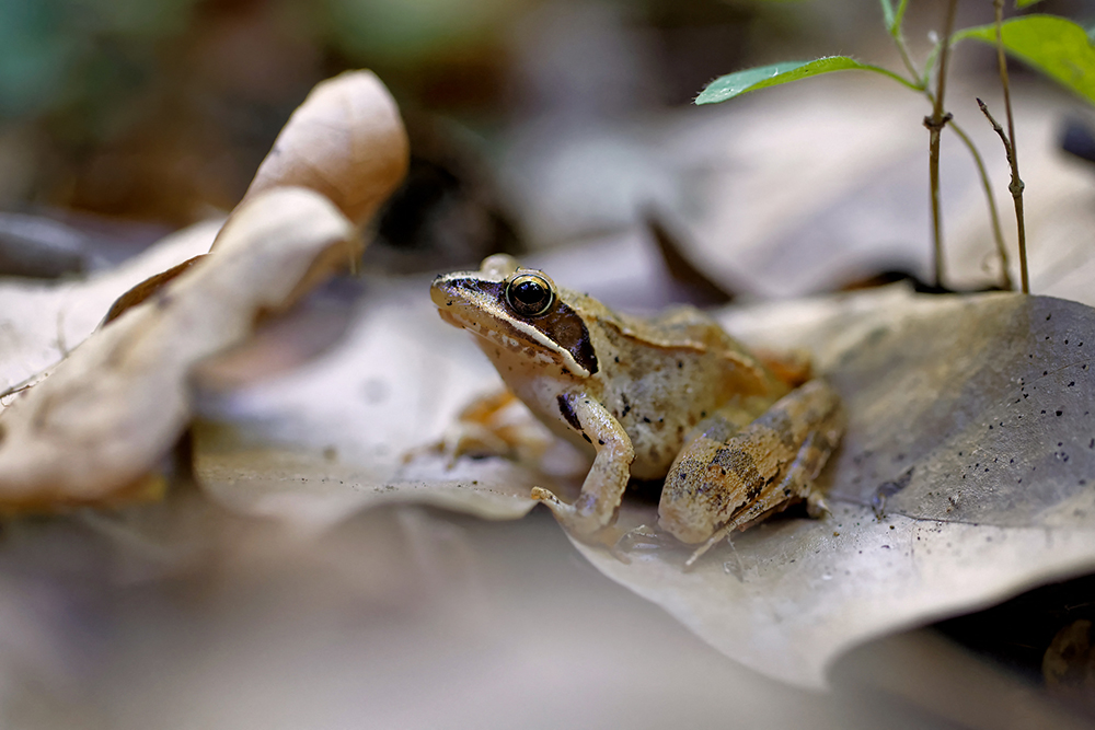Grenouille agile en sous bois