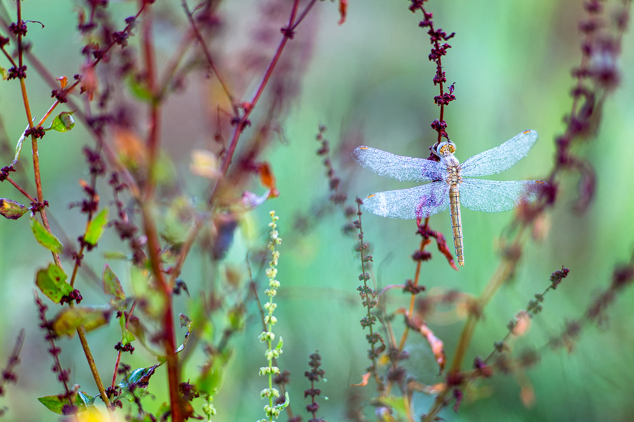 libellule © Marc C.jpg