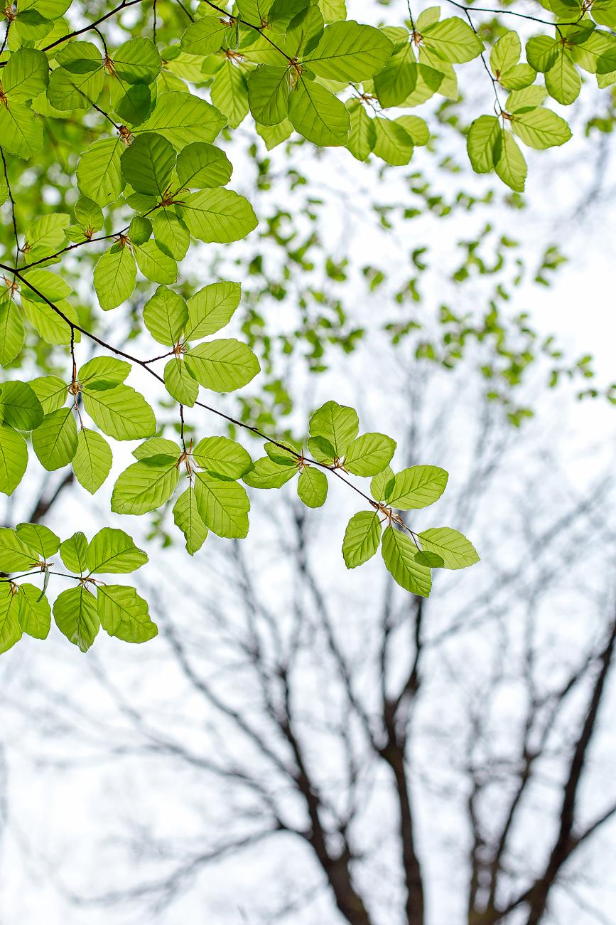 Premieres pousses de feuilles de hêtres au printemps