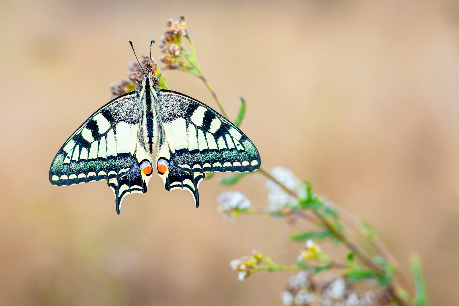 Machaon ou grand porte queue-Papilio machaon
