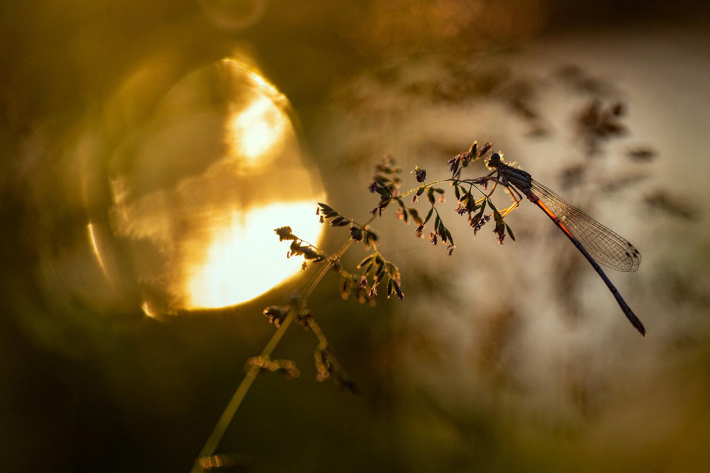Agrion au soleil couchant
