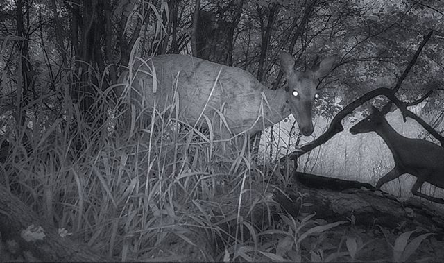 07.26.18_05.53 William Harper #deer #trailcam #infrared #williamharper #doe #skokielagoons