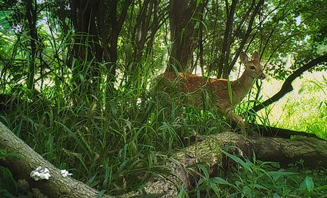 07.31.18_09.05 William Harper #fawn #deer #skokielagoons #whitetail #trailcam