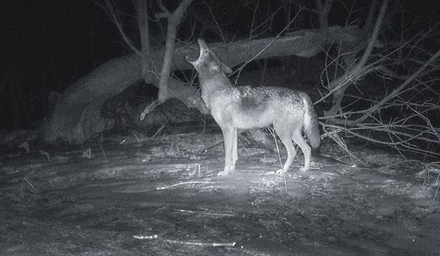 03.02.19_23.35 Coyote howls #coyote #trailcam #williamharper
