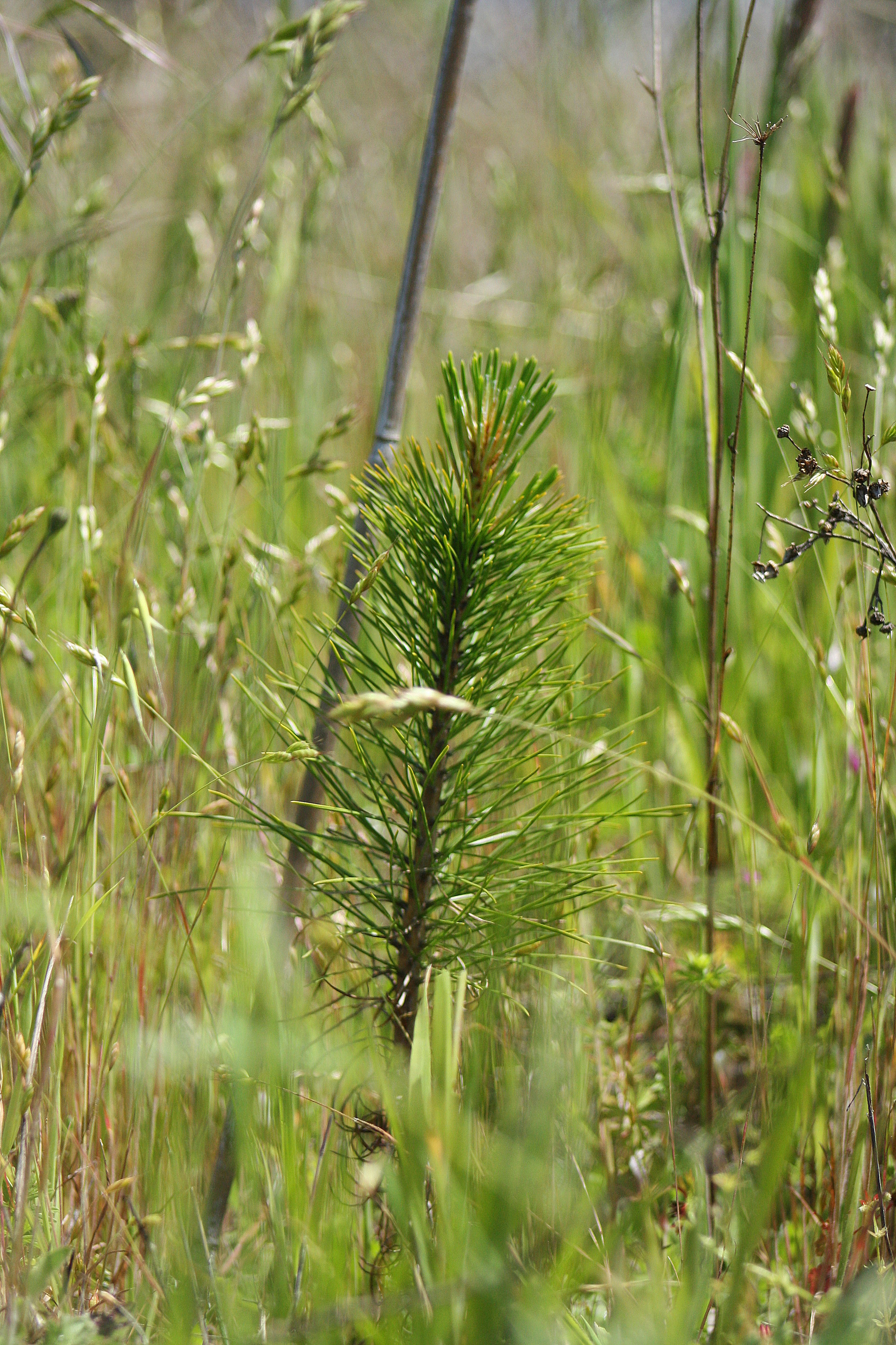 Ponderosa Pine seedling