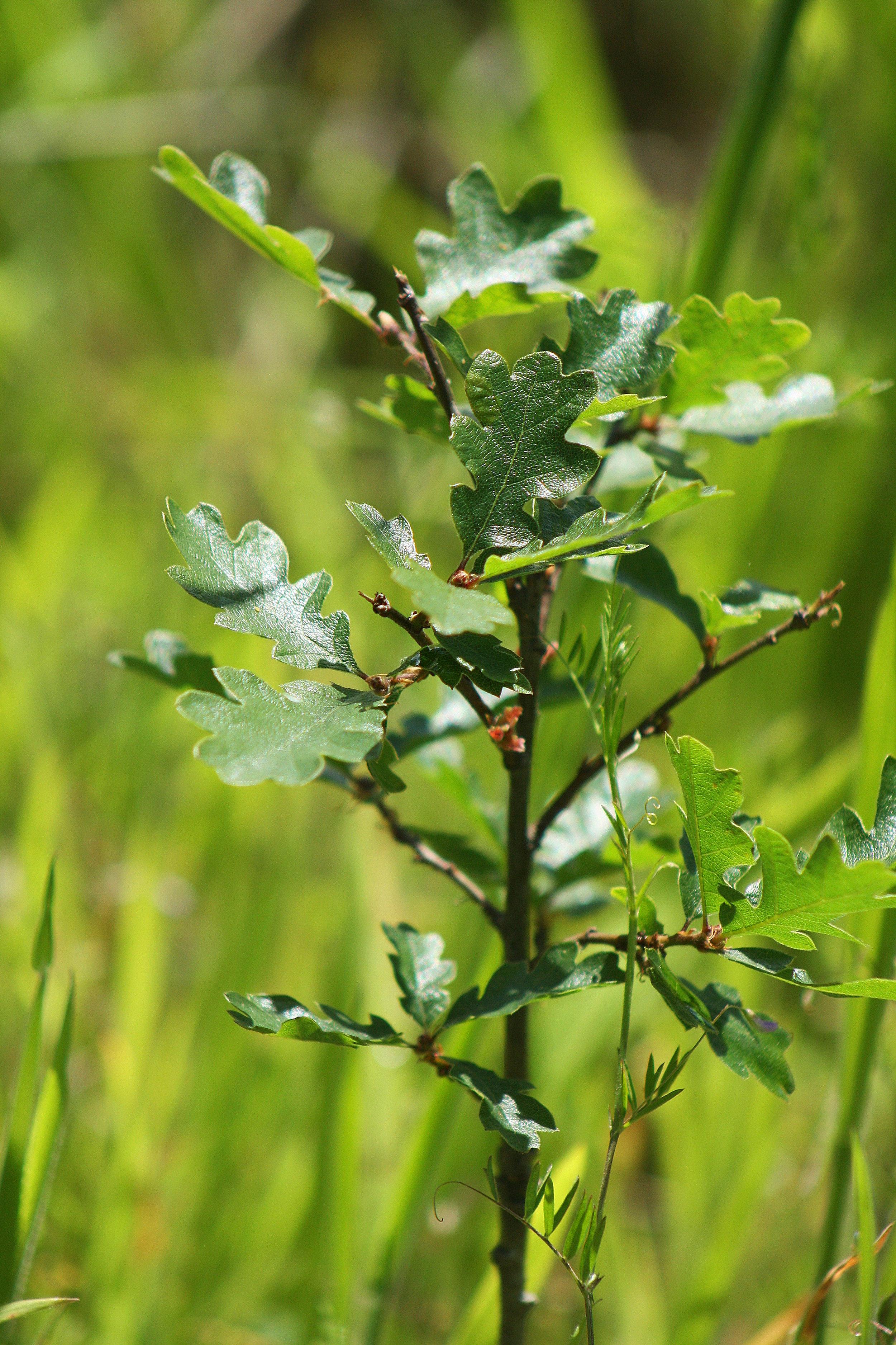 Oregon White Oak seedling