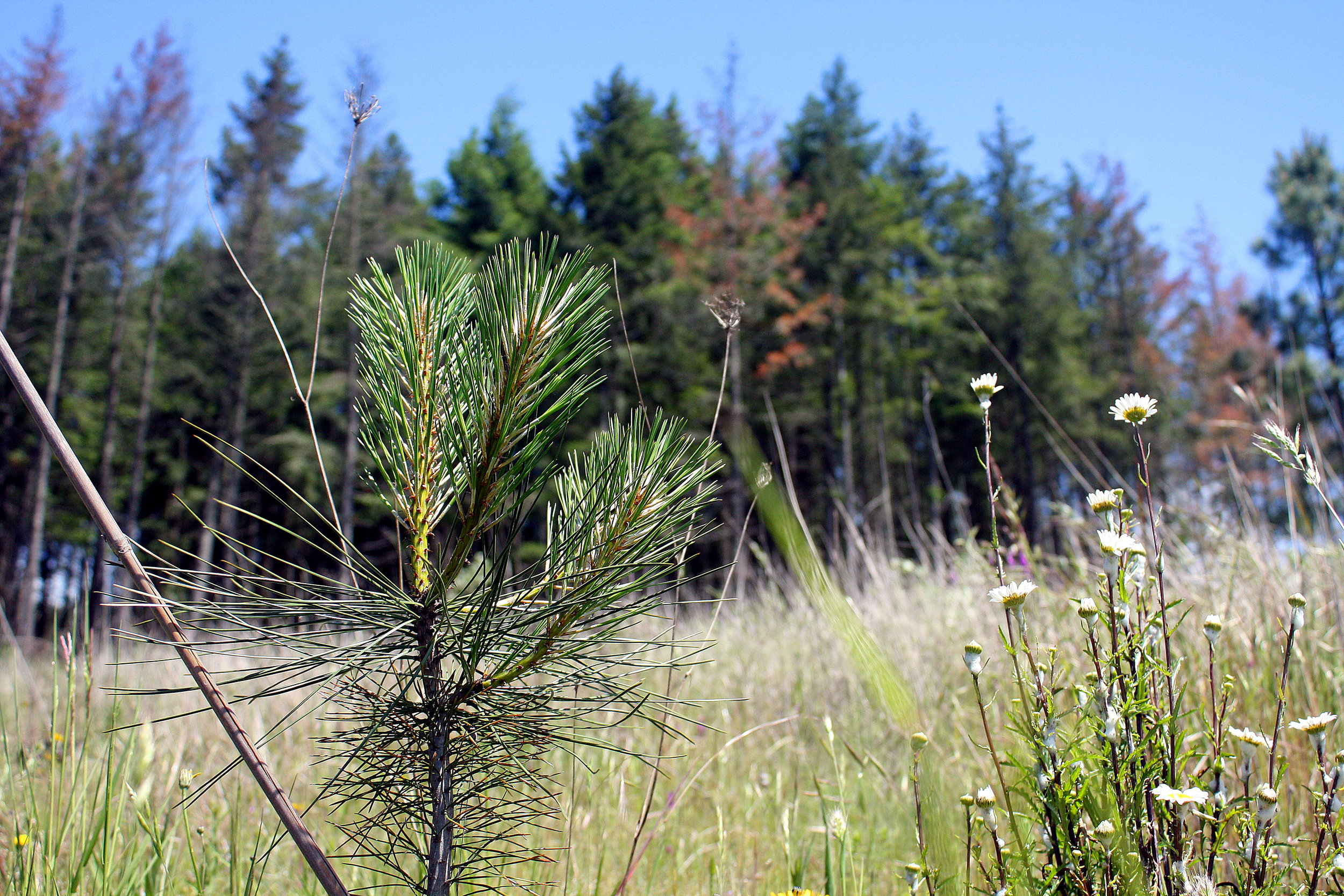 We planted this Ponderosa Pine seedling in an area where Fir has been dying - and continues to fail, as indicated by the trees in the background