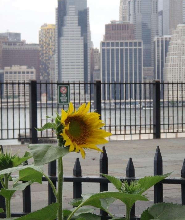 PGC_sunflower.jpg