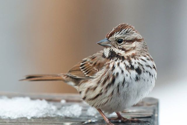 Anyone else having a wintery day? #wildwednesday #wildbackyard #bird #insnow