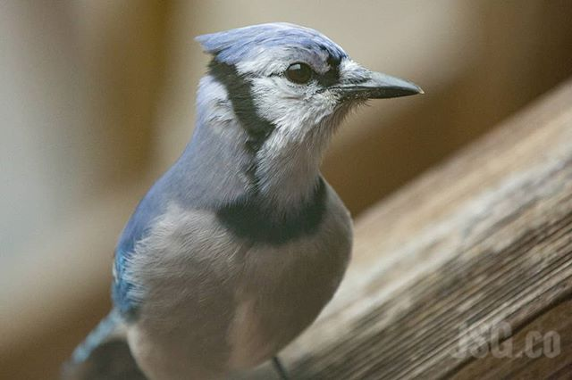#BlueJays are really pretty birds. Granted they can be loud and annoying where directly outside your window, but pretty none the less. #wildwednesday #wildbackyard Have a pretty pesky friend outside your window? Take a picture and #wildbackyard