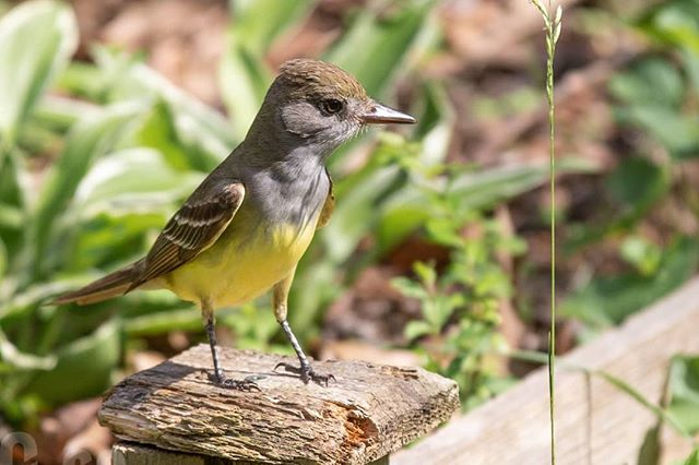 The #GreatCrestedFlycatcher is always a welcome sight in our yard. A nice pop of color #yellowbelly #wildwednesday #wildbackyard