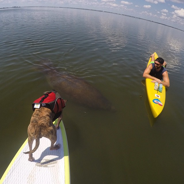 Grant Begley Paddle with a manatee