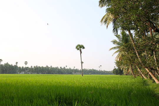 achanta-rice-paddy-2.jpg